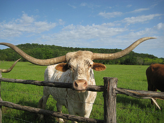 Texas longhorn, big boy