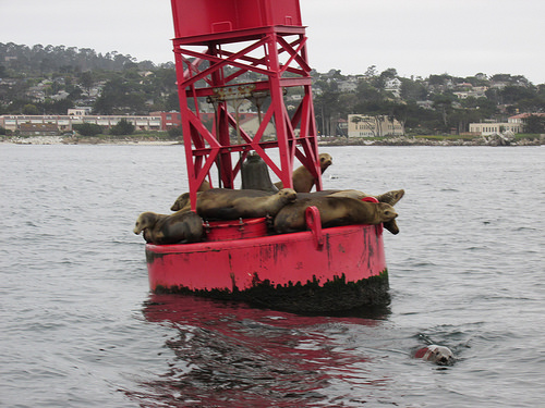 """California sea lions"" ""Monterey"""