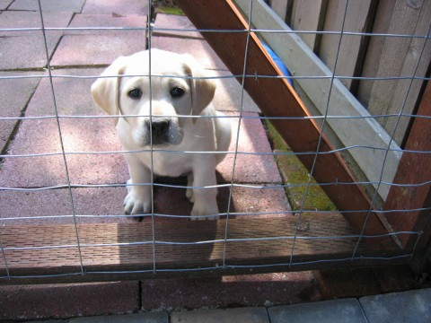 labrador puppy