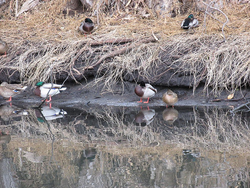 ducks, Sweet Springs Nature Reserve, Los Osos, California