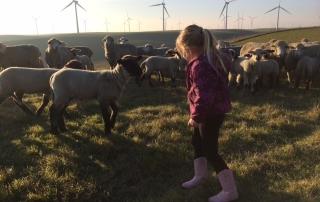 Emigh Livestock, Ryan Mahoney, Rio Vista, California, sheep
