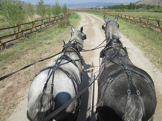 Jackson Fork Ranch Percheron horses