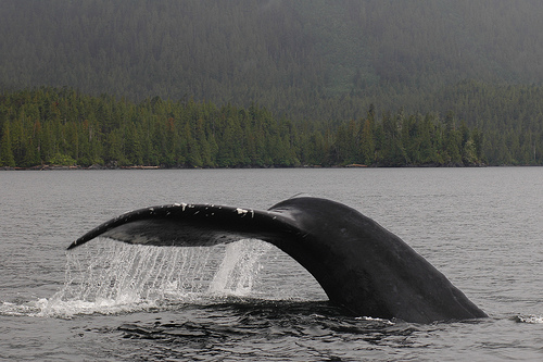 &quot;Humpback Whale&quot;