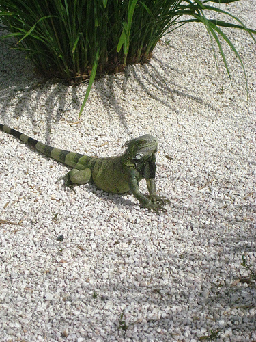 &quot;Iguana&quot; &quot;Curacao&quot;