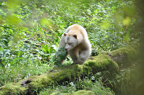 """Kermode Spirit Bear"""