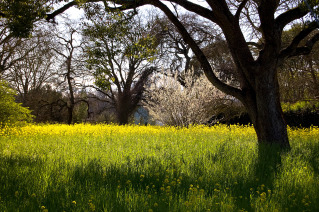 """""""Napa Valley Mustard"""""""