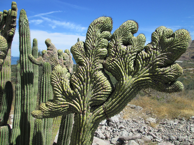 cactus, loreto, mexico