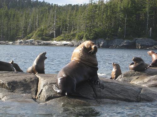 """Sea lions"""