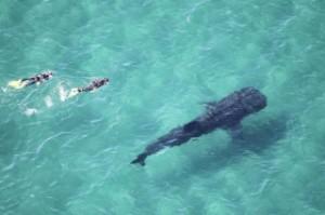 whale shark, scuba dive, los cabos, mexico