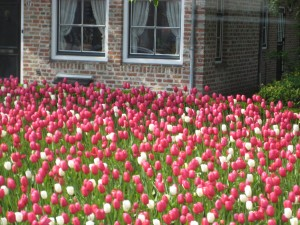 Zeeland Dutch Tulips, Holland