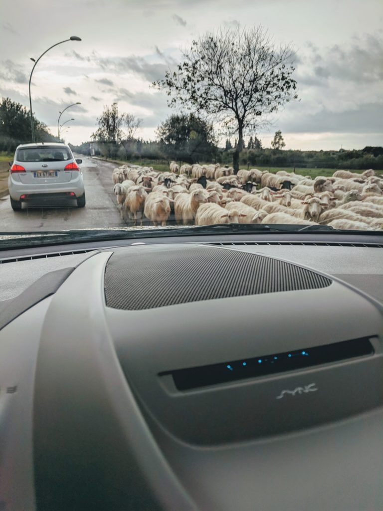 sheep in sardinia