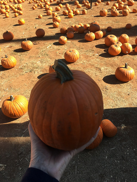 pumpkin patch, 5 tips for apple hill apple picking, eldorado county california