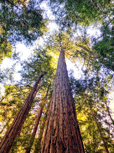redwood trees, armstrong woods state natural preserve, forest bathing in sonoma county, redwood trees, guerneville california
