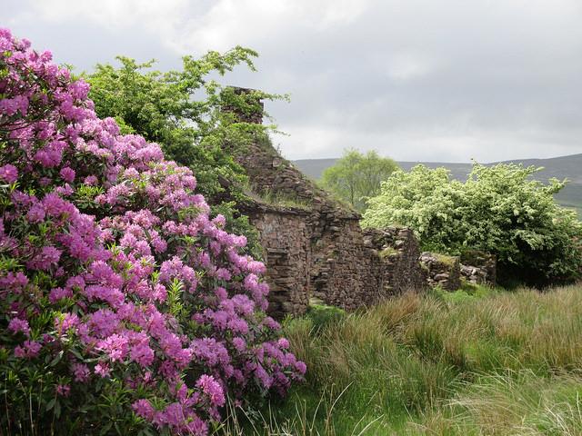 ireland, southern ireland, azalea, flowers