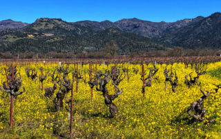 calistoga vineyards, things to see in calistoga, calistoga like a local
