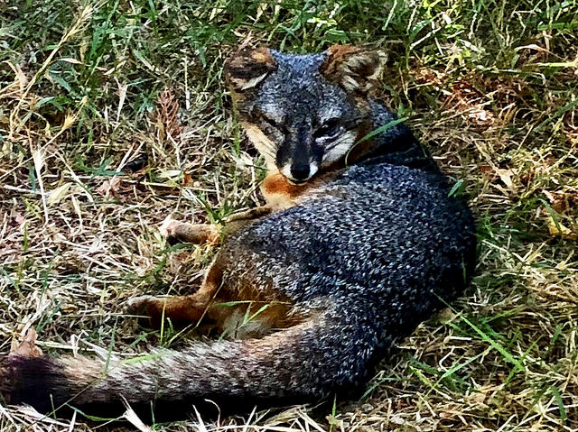 island fox, 5 things to know before you travel to channel islands, island fox recovery program
