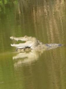 """""""Crocodile"""""""