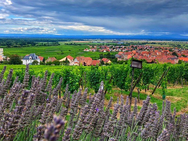 Rows of purple lavender and grape vines heavy with fruit lead the way into Dambach-la-Ville along the Wine Road in Alsace, France.
