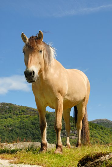 fjord horse, ovre eide farm, bergen, norway