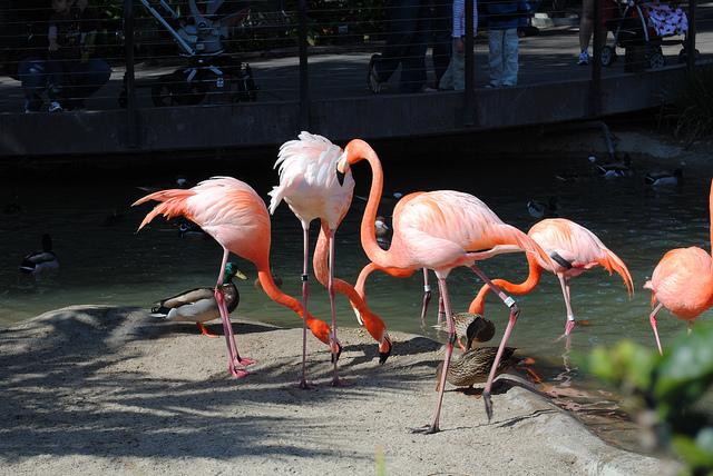 flamingos, san diego zoo, zoo