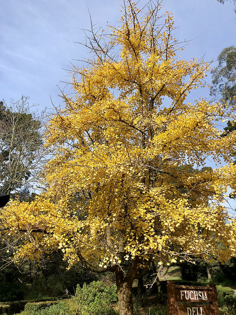 ginko biloba tree, fuchsia dell, golden gate park, san francisco, california