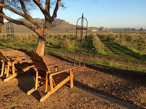 Il Fiorello, olive trees