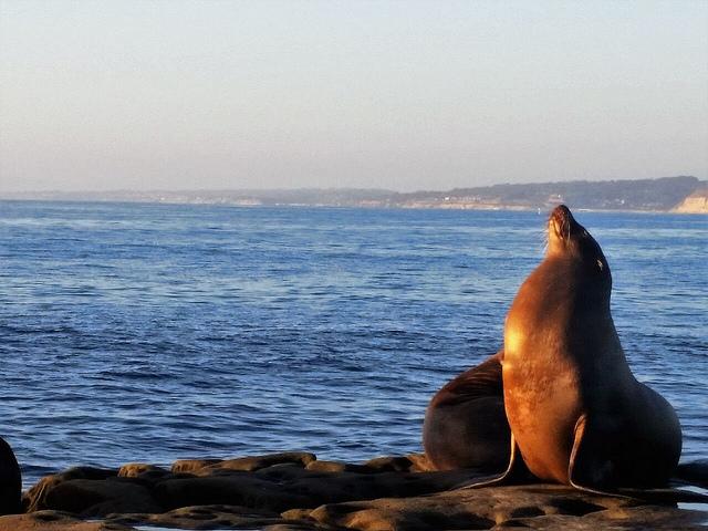 sea lion, la jolla, california