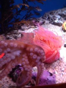 octopus, sea anemone