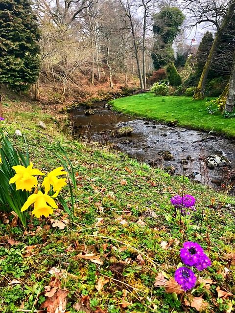 shaggy burn stream, daffodils by the creek, shuggy burn stream on monzie estate, scotland