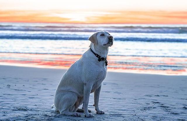 labrador retriever, nala, on carmel beach at sunset