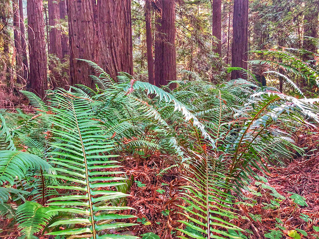 ferns & redwood trees, forest bathing in sonoma county, northern california redwood trees, california state park