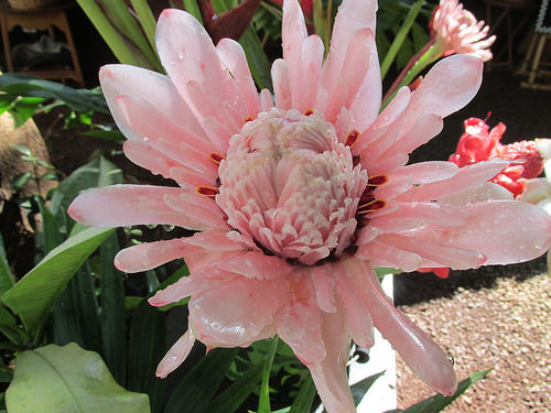 "pink torch ginger blossom ""Kumu Farms"", ""Molokai"" Hawaii"