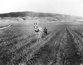 Pālāwai pineapple fields, Lanai