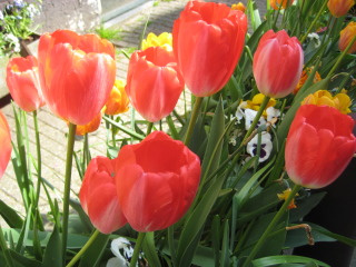 tulips, holland, Nancy D. Brown, flowers, travel