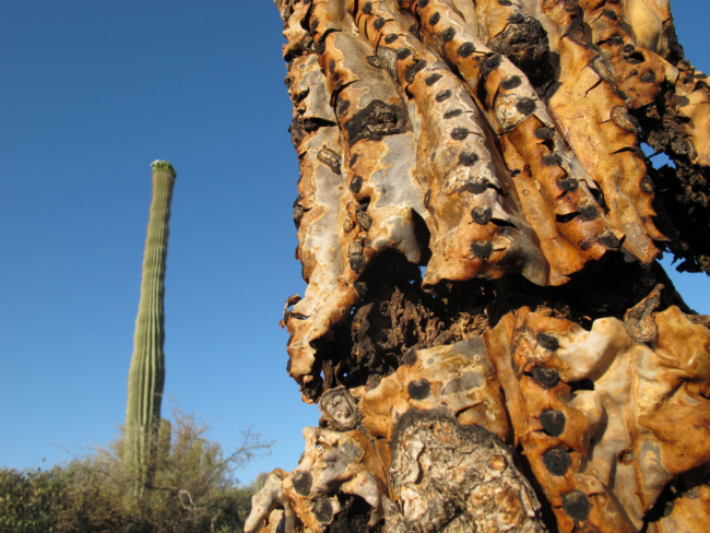 The saguaro are a metaphor for life and death