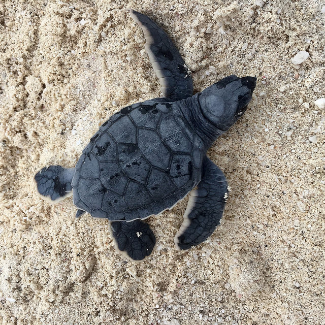 baby sea turtle, green sea turtle, westin lagunamar cancun, quintana roo, mexico, turtle care program