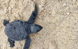baby green sea turtle, westin lagunamar turtle care program, turtle release