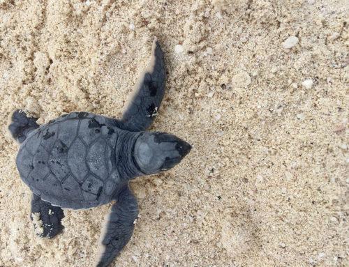Cancun Sea Turtle Release in Mexico