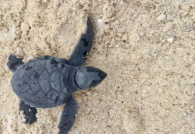 baby green sea turtle, westin lagunamar turtle care program, turtle release