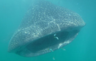 whale shark, swimming with whale sharks, cancun, mexico, caribbean sea, fish