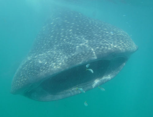 Swimming with Whale Sharks in Cancun, Mexico