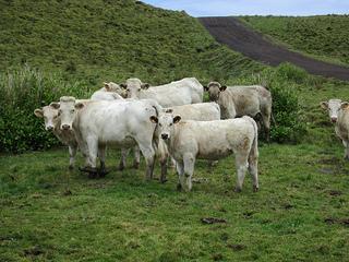 Pico Island cows