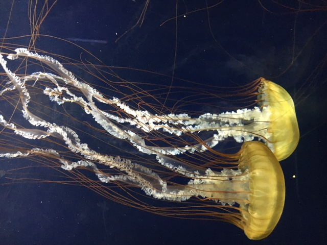 The jellyfish exhibit at Aquarium of the Bay